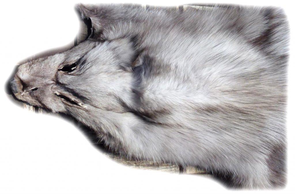 Blaufuchsfell Detail Kopf