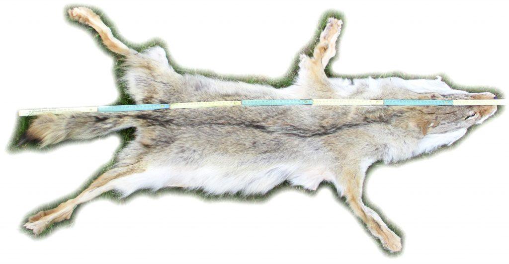 Kojotenfell Gesamtgröße