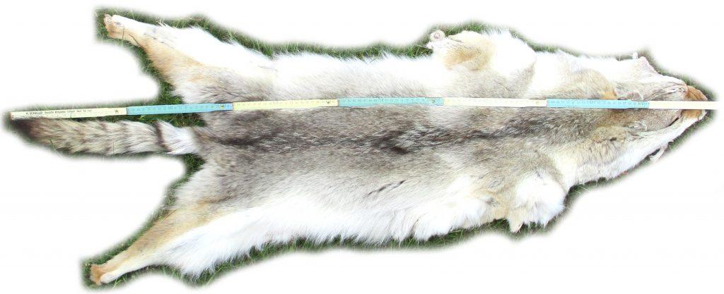 Kojotenfell Gesamtansicht Größe