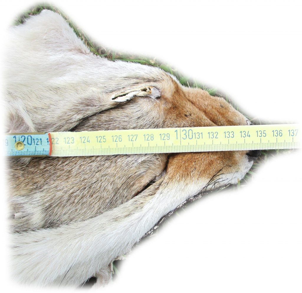 Kojotenfell Kopfdetail Maße