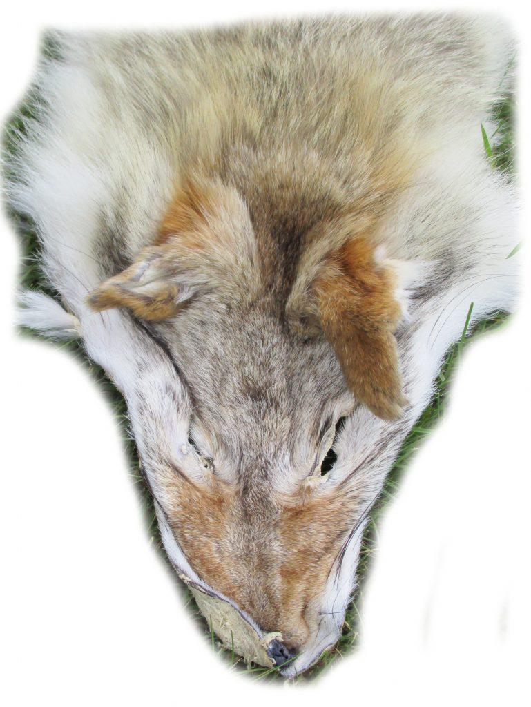 Kojotenfell Kopfdetail