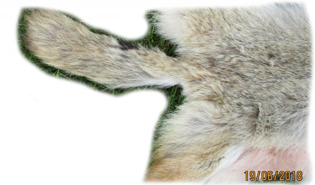 Kojotenfell Schwanzdetail
