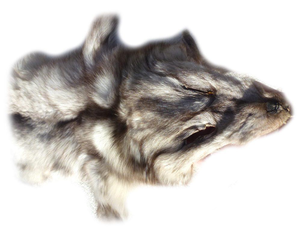 Blaufuchs Kopfdetail