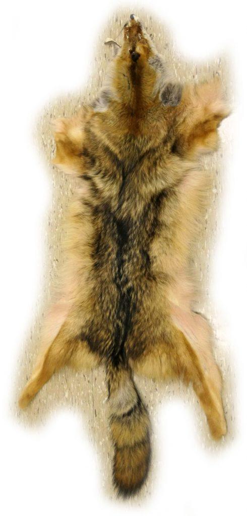 Tolles Kojotenfell mit 150 cm Gesamtlänge