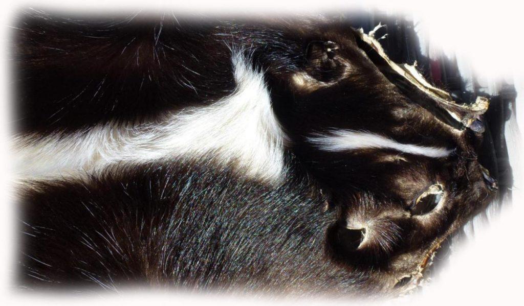 200901 Skunk 87 cm Gesichtchen