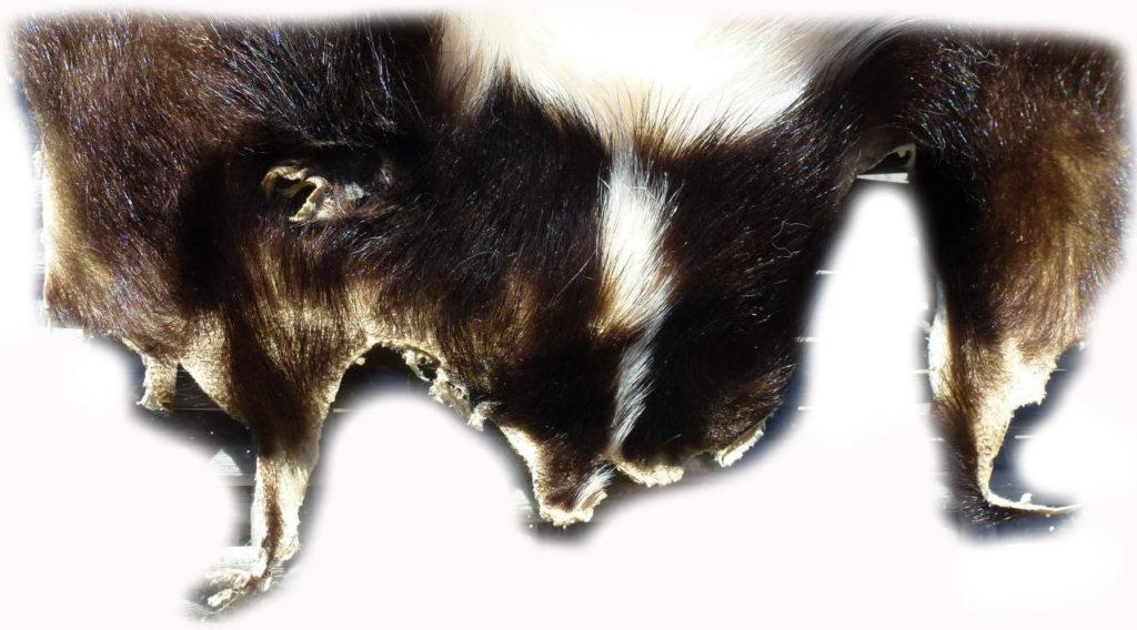 200902 Skunk Gesichtchen