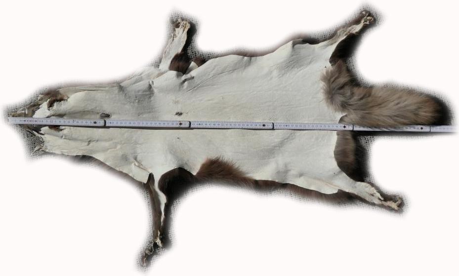 200906 Marderhund 105 cm Gesamtlänge