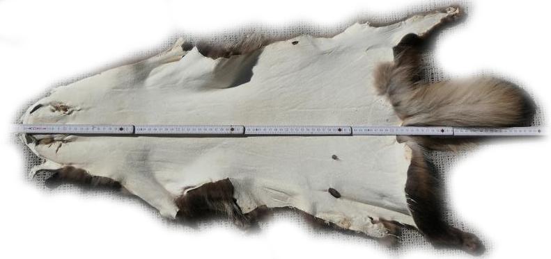 200907 Marderhund 98 cm Gesamtlänge
