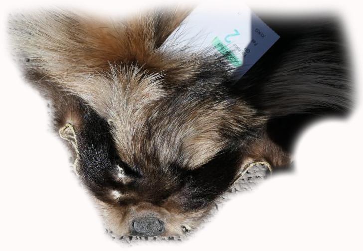 200907 Marderhund 98 cm Gesichtchen