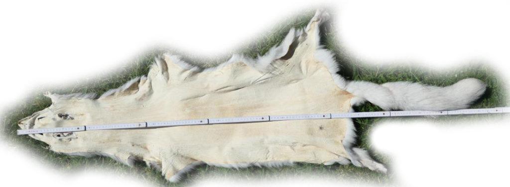 200915 Blaufuchs 155 cm Gesamtlänge