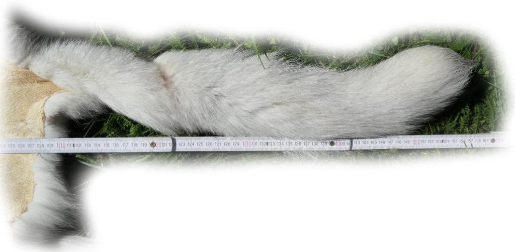 200915 Blaufuchs 155 cm Schweif