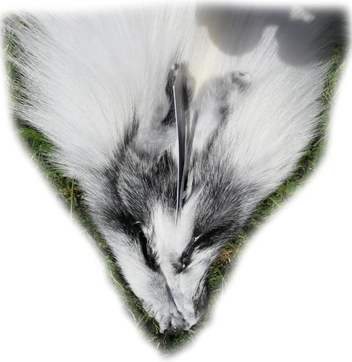 200916 Arctic Marble Fuchs 137 cm Gesichtchen