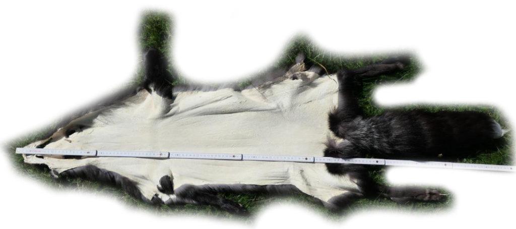 200920 Silberfuchs 137 cm Gesamtlänge