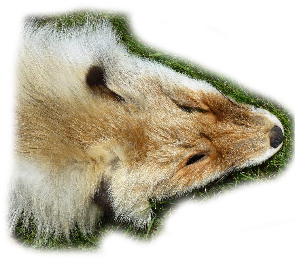 8-13 sibirischer Rotfuchs Kopf