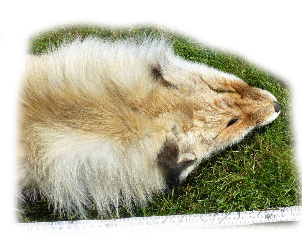 8-13 sibirisches Rotfuchsfell Kopfdetail