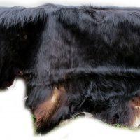 Auerochse-Stier-Fellbehang
