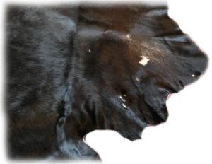Auerochsenfell Stier Detail