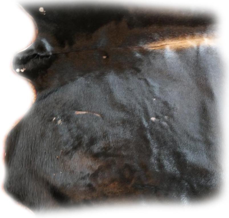 Auerochsenfell Stier Narben