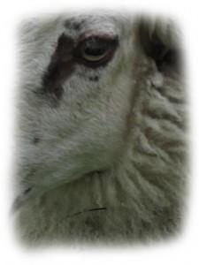 Bentheimer Landschaf Gesicht