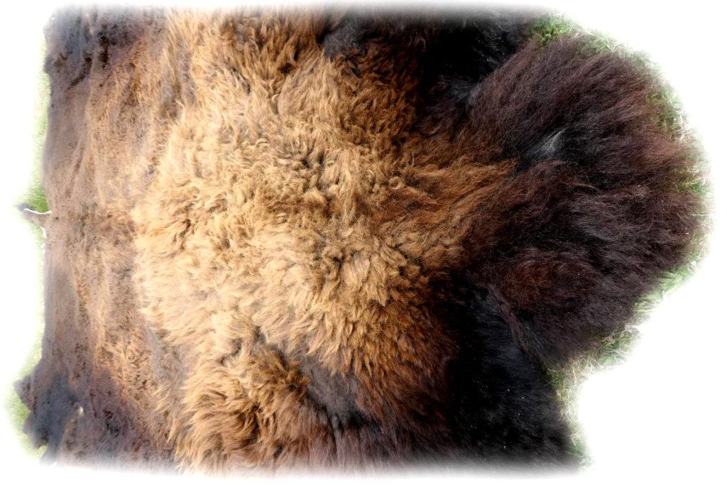 Bisonfell Bulle Ansicht von Vorne