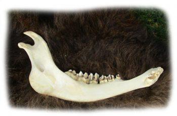 Unterkieferknochen vom Bison