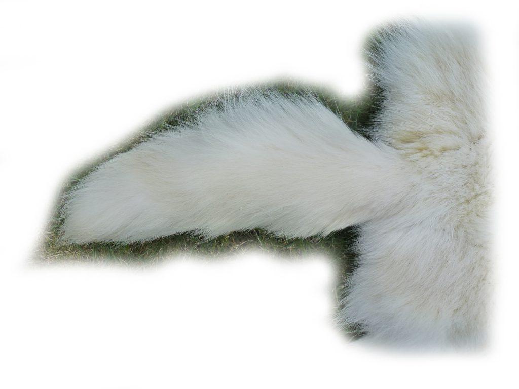 Blaufuchs 11 Schwanz