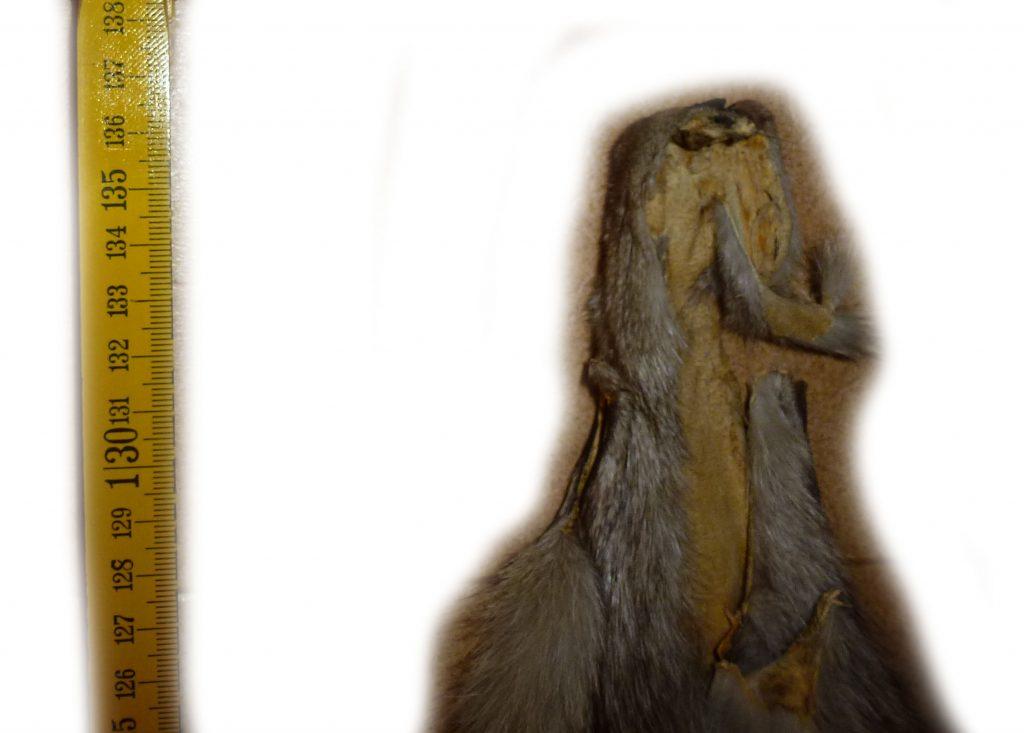 Blaufuchs 12-01 Kopfdetail