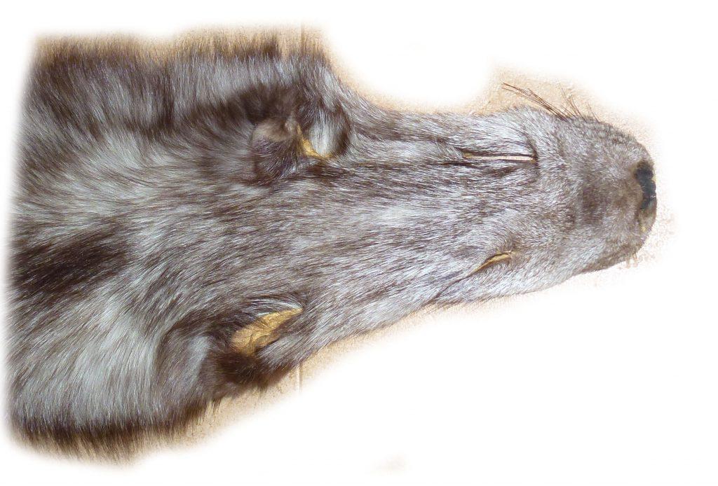 Blaufuchsfell 12-02 Kopfdetail
