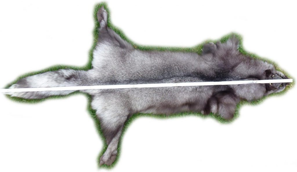 Blaufuchs 13 Länge