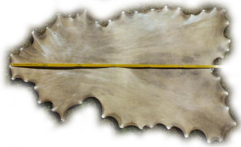 Damhirschrohhaut Gesamtlänge