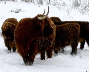 Highland Cattle im Winter