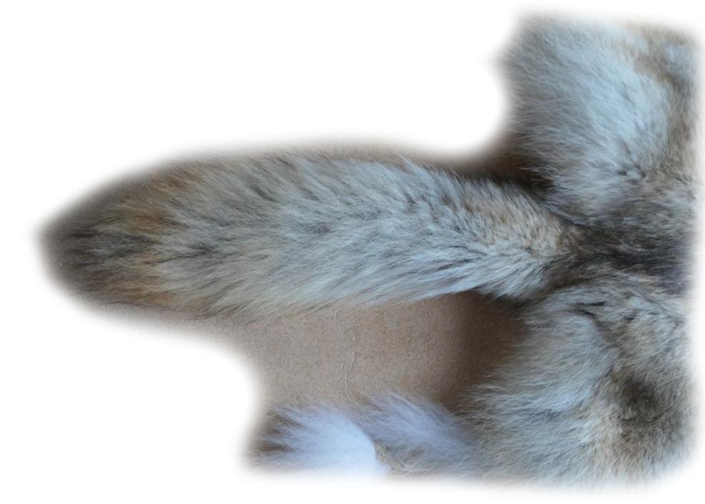 Kojote Schweif