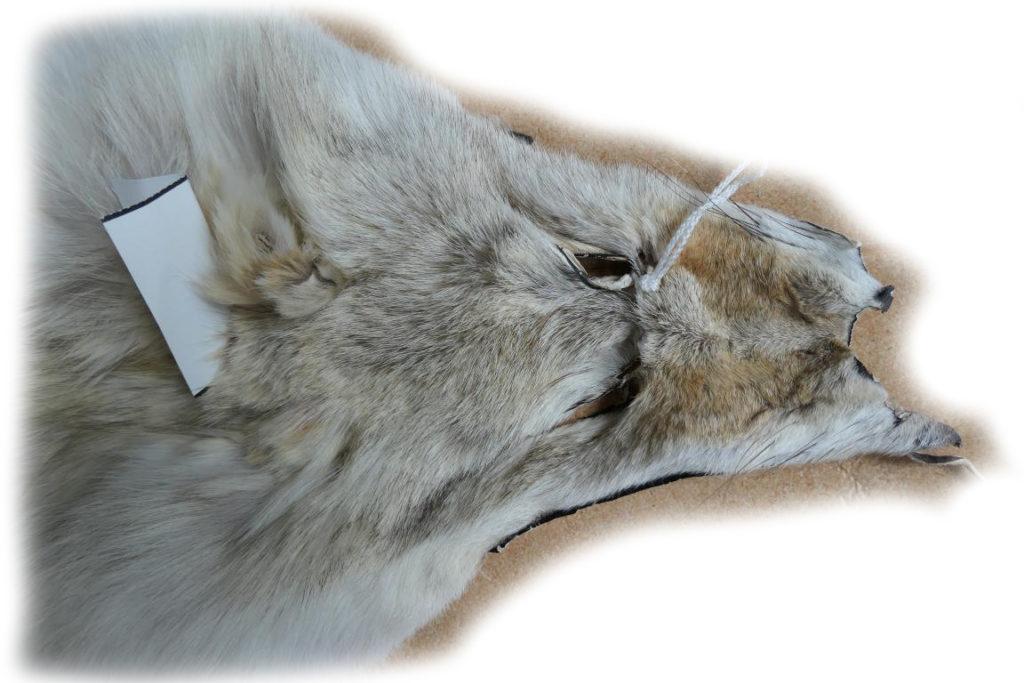 Kojote Gesichtchen