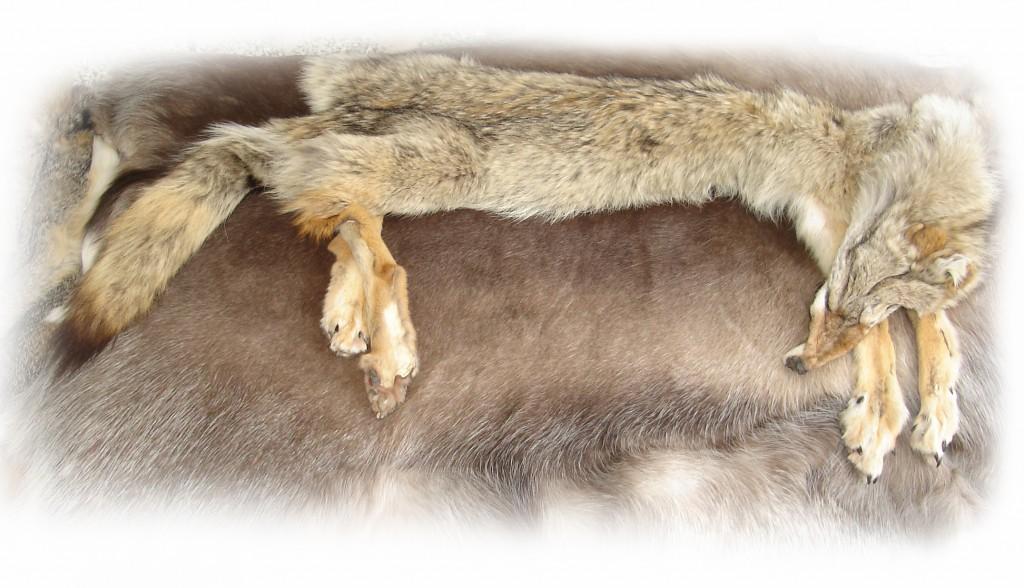Kojote freigestellt