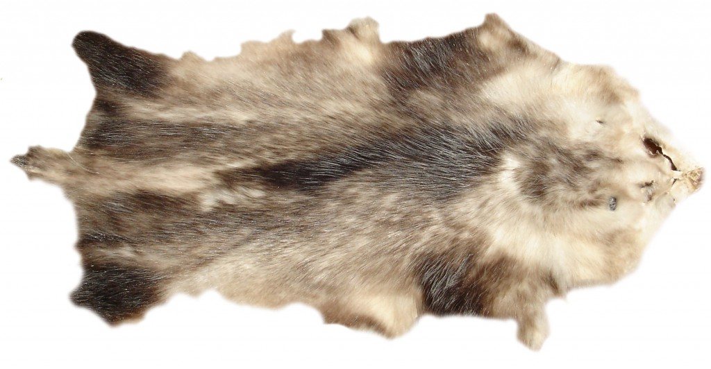 Opossum freigestellt