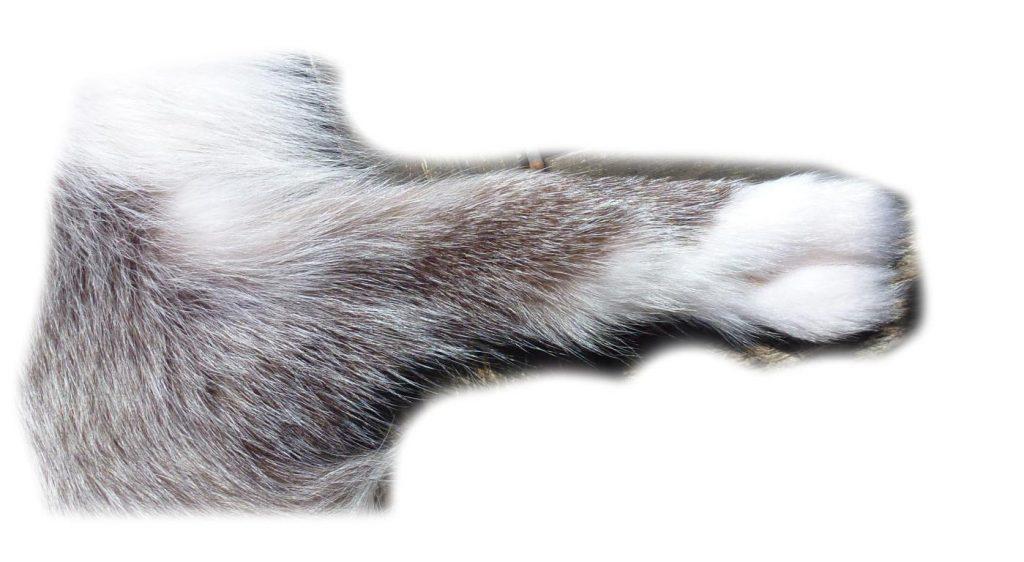 Platinfuchs Beinchen