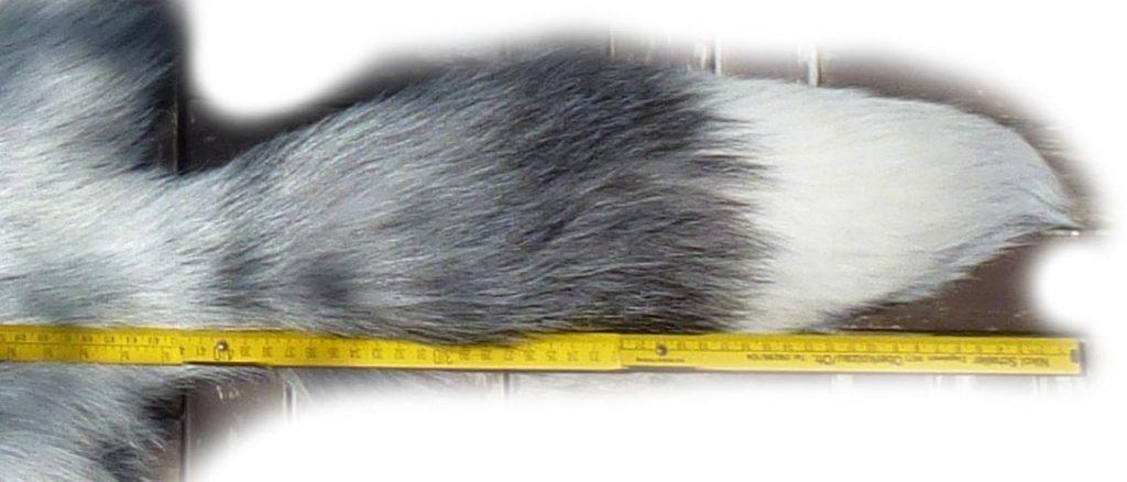 Platinfuchs Schwanz Detail