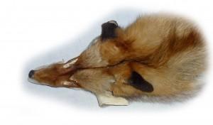 Rotfuchs Kopfdetail