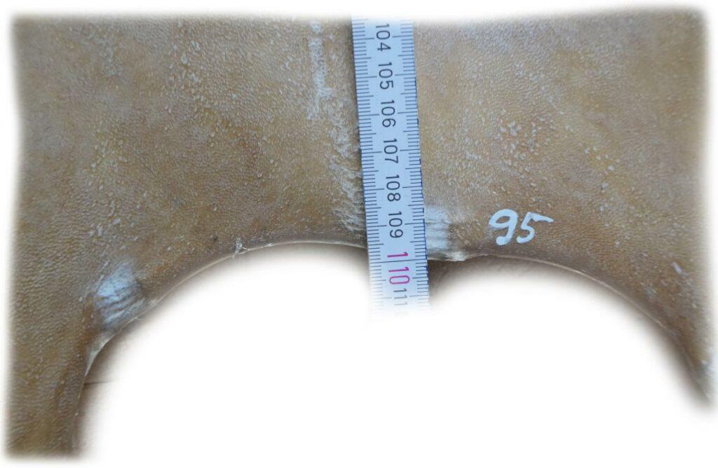 Rothirschrohhaut 95 Länge
