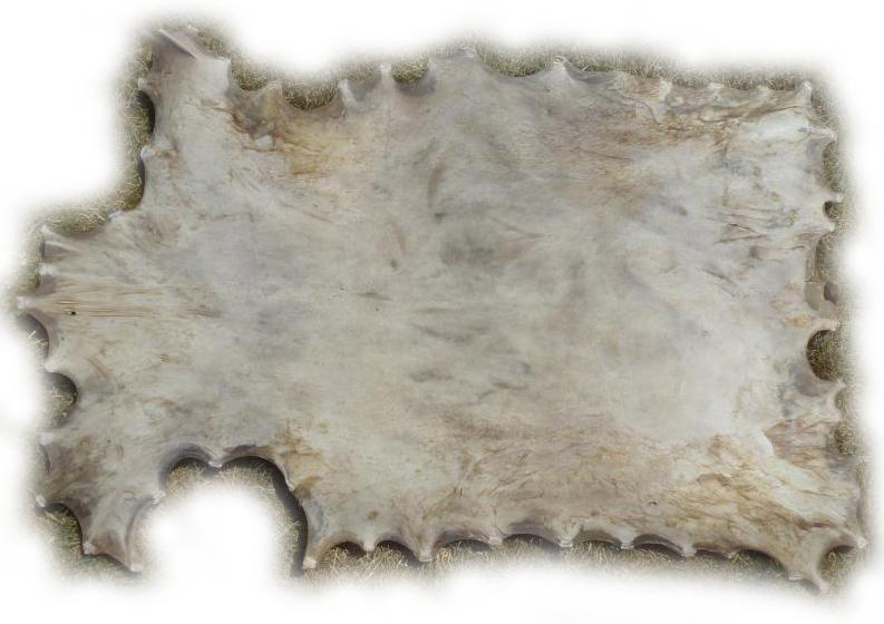 Rothirschrohhaut Rückseite