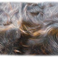 Schottisches Hochlandrind schwarzbraun Nackenhaardetail