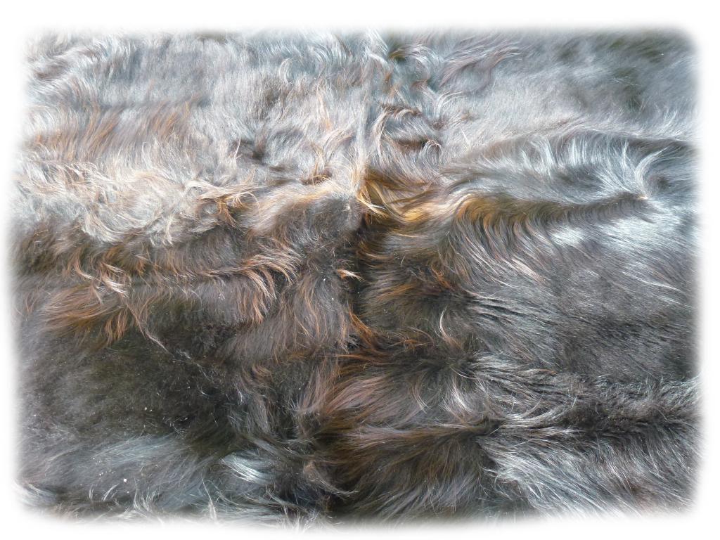 Schottisches Hochlandrind schwarzbraun Nackenhaardetail b