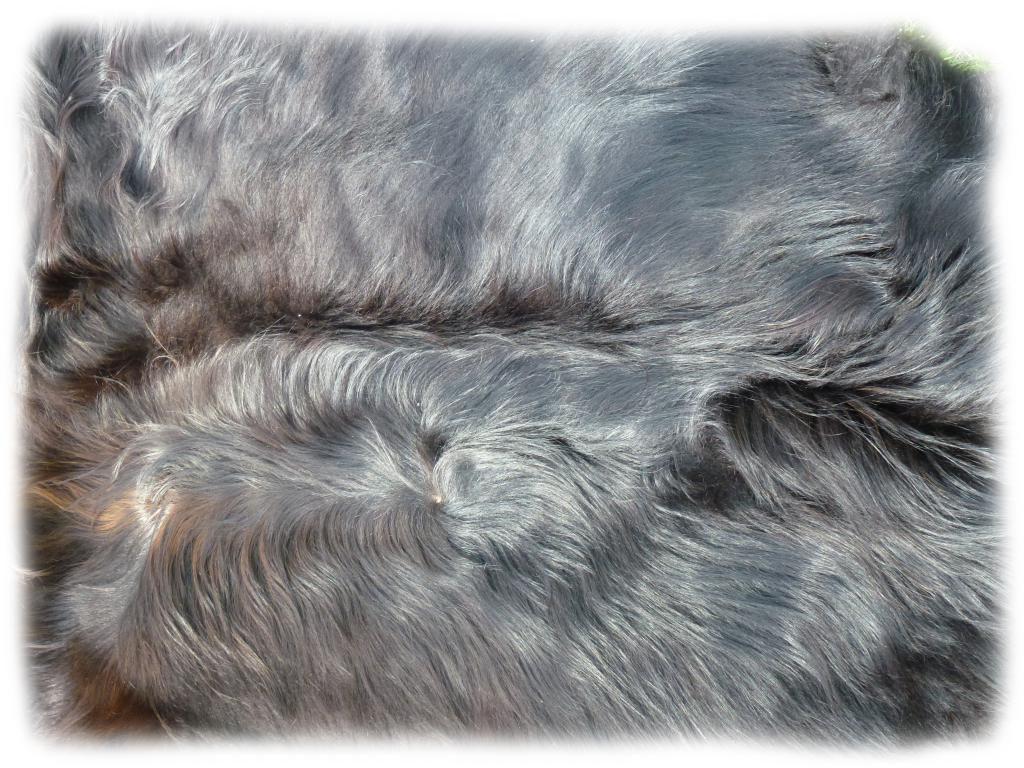 Schottisches Hochlandrind schwarzbraun Nackenhaardetail c