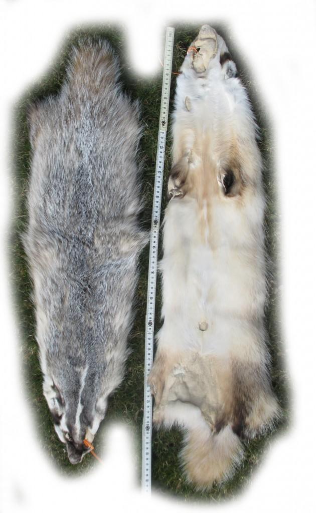 Silberdachsfell Bauch- und Rückenseite freigestellt