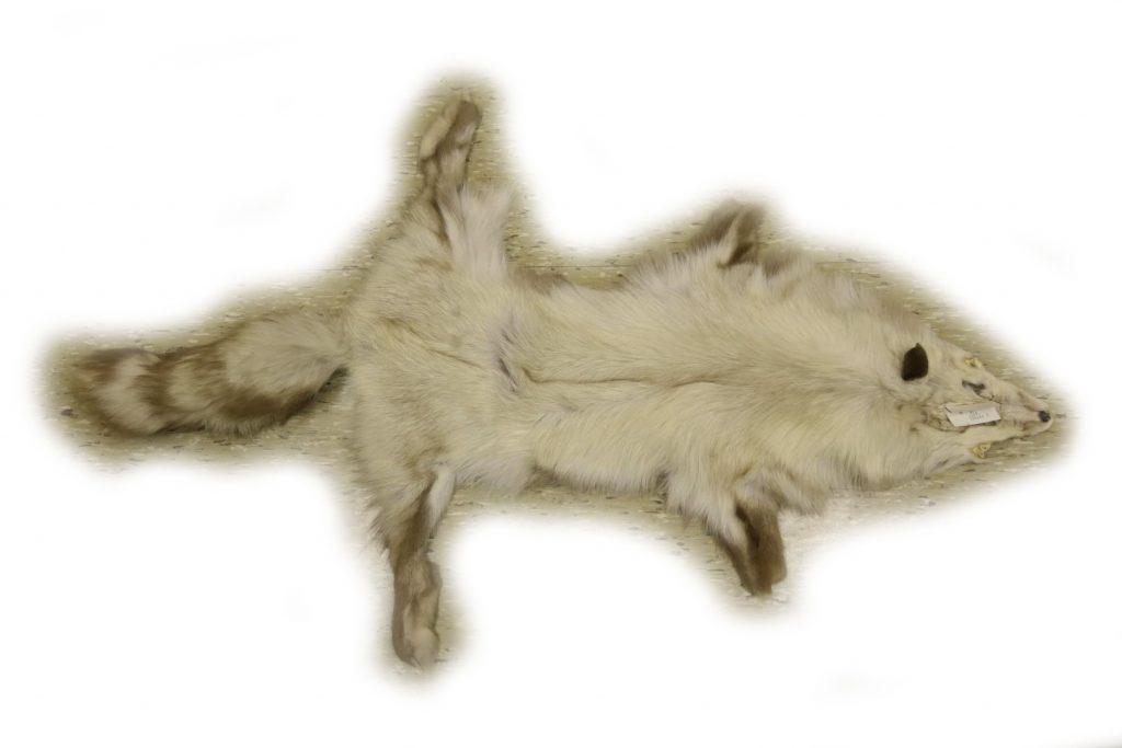 Snow Glow Fuchs, eine natürliche Farbvariante des Rotfuchses