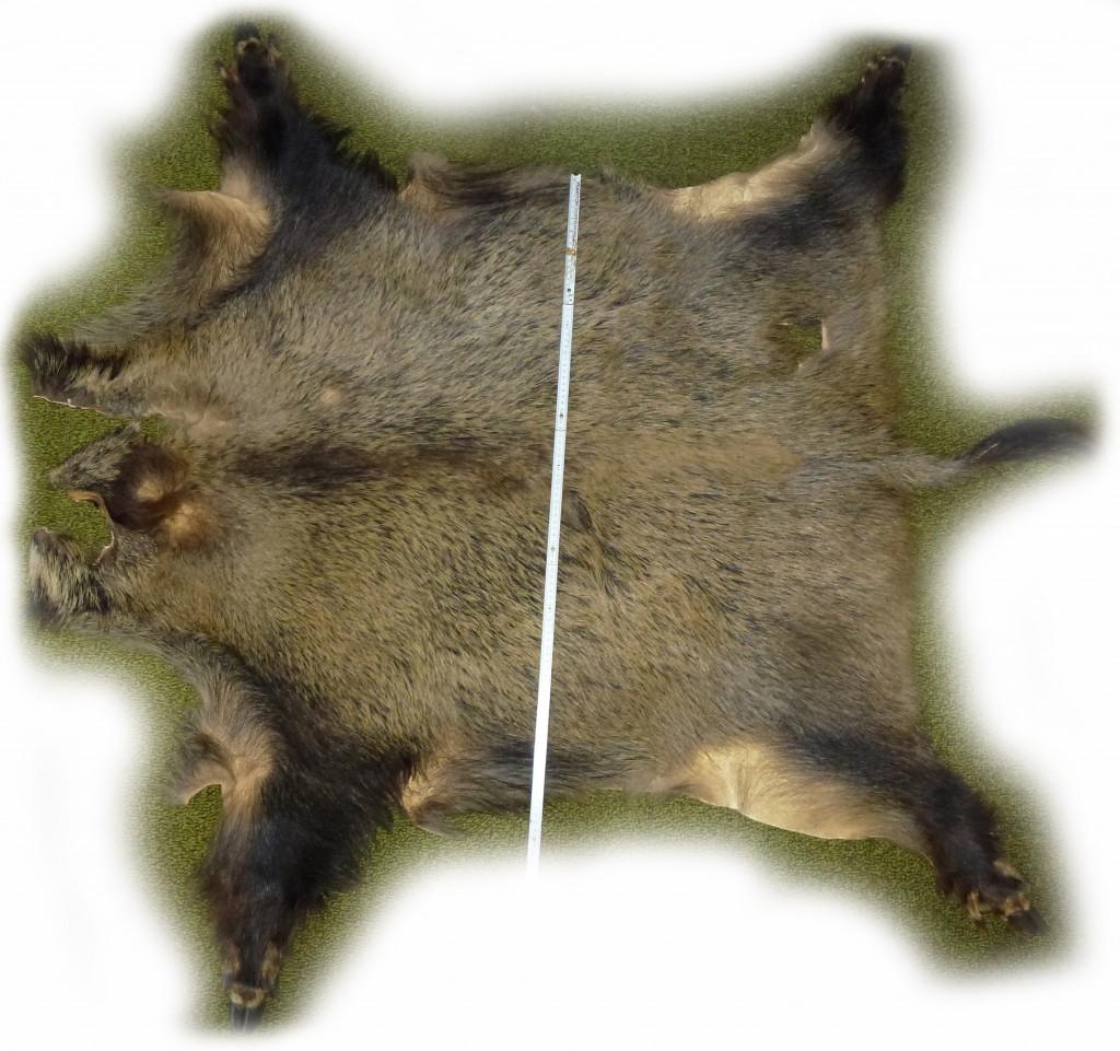 Wildschwein gesamt freigestellt