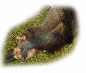 Wildschweinbein 1 freigestellt