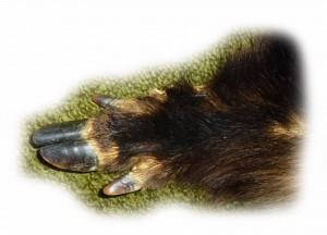 Wildschweinbein 3 freigestellt