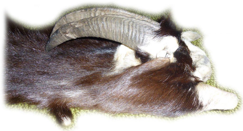 Ziegenfell mit Hörnern und Hufen